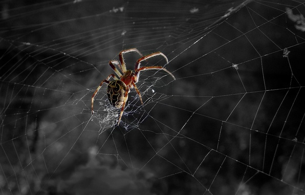 Picture black and white, web, Spider