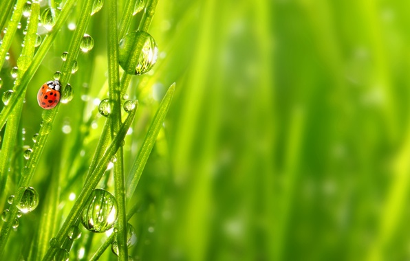 Picture grass, drops, Rosa, ladybug, insect
