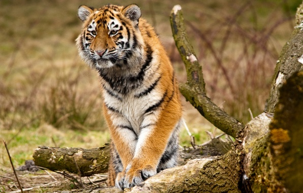 Picture animals, trees, nature, predators, paws, log, wild cats, logs, Siberian tigers