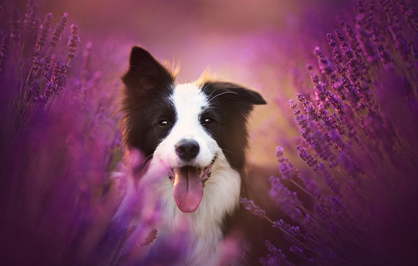 Picture language, joy, flowers, mood, dog, lavender, The border collie