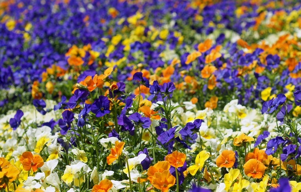 Picture flowers, bright, Pansy, flowerbed, colorful