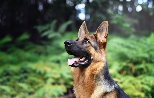 Picture face, dog, bokeh, shepherd