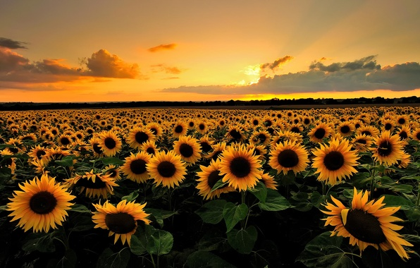 Picture field, summer, clouds, sunflowers, sunset, flowers, nature, the evening
