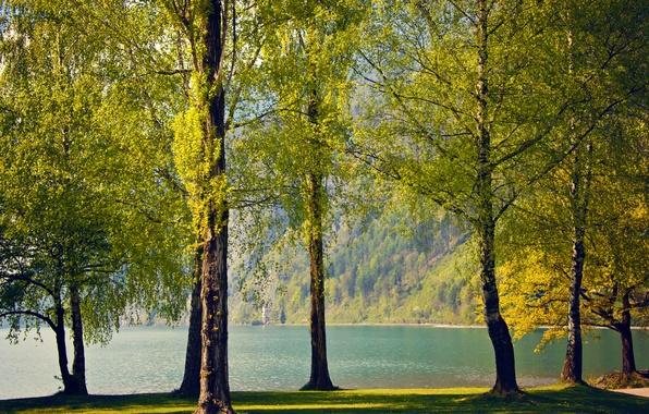 Picture trees, nature, lake, spring, Switzerland, birch, Switzerland