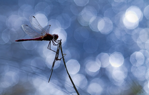 Picture glare, dragonfly, insect, a blade of grass