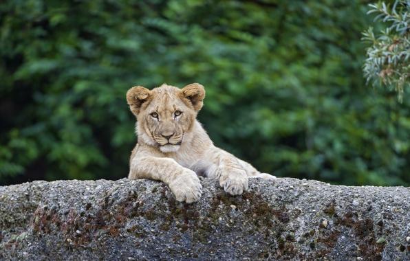 Picture cat, stone, Leo, cub, kitty, lion, ©Tambako The Jaguar