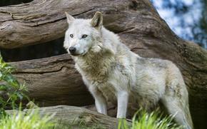 Picture grass, look, wolf, predator, snag, ©Tambako The Jaguar
