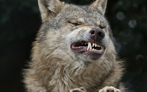 Picture face, smile, wolf, teeth, fangs, grin, smile squash teeth