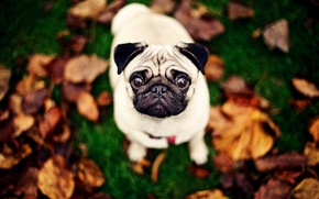 Picture background, dog, pug