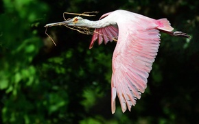 Picture flight, bird, wings, the bushes, roseate spoonbill, Wallpaper from lolita777