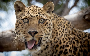 Picture language, look, leopard, funny