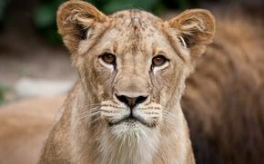 Picture cat, look, face, portrait, Leo, lion
