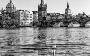 Picture water, river, Prague, Czech Republic, black and white, swans, Prague, The Czech Republic, Vltava, Praha, …