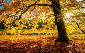 Picture autumn, the sun, nature, tree, foliage