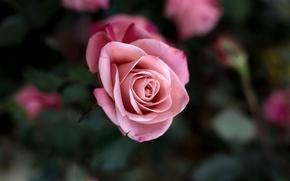 Wallpaper flower, macro, flowers, pink, rose, Bush, beauty, petals, blur, Bud