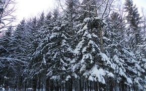 Picture forest, in the snow, tree, turn, in the winter