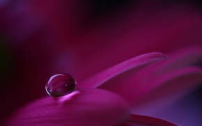 Wallpaper flower, macro, petals, drop, Raspberry