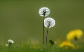 Wallpaper dandelions, spring, nature