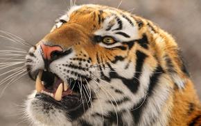 Picture evil, far East, The Amur tiger, Ussuri, Panthera tigris altaica, large tiger, Amur tigr