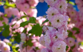 Picture flowers, branch, spring, flowering, almonds