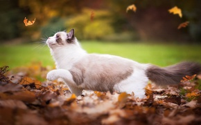 Picture autumn, cat, leaves, Ragdoll