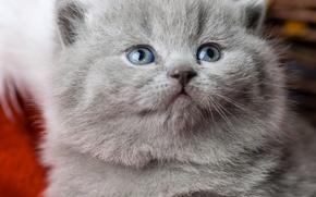 Picture muzzle, kitty, blue eyes, British, British Shorthair