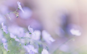 Wallpaper tenderness, macro, flowers, Len, blur, blue, summer, spring