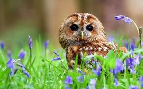 Picture flowers, owl, bird, bells, Gray owl