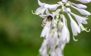 Picture white, flower, grass, macro, flowers, nature, green, photo, plant, blur, insect, bumblebee, bell