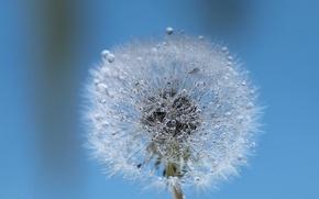 Picture water, drops, Rosa, dandelion, blade