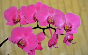 Picture flowers, Orchid, pink Orchid, beautiful Orchid