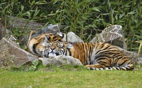 Picture grass, cats, tiger, stay, sleep, pair, Amur