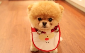 Picture dog, look, Pomeranian, face, dog, Cute Puppy As Christmas Present, fluffy, breed, eyes, spout