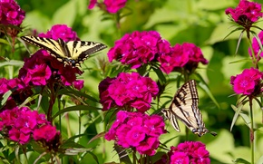 Picture butterfly, flowers, clove