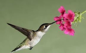 Wallpaper flower, flight, flowers, nature, nectar, bird, wings, beak, Hummingbird, hung