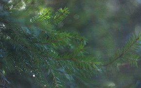 Picture forest, macro, spruce