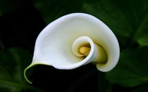 Picture curls, pistil, Calla lilies