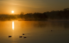 Picture forest, fog, lake, dawn, duck