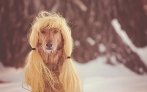 Picture look, each, dog, wig