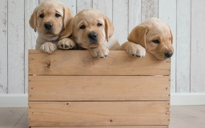 Picture dogs, puppies, box, trio, Golden Retriever, Golden Retriever, Trinity