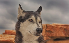 Picture face, portrait, dog, husky