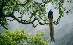 Picture tree, bird, paint, branch, feathers, Sri Lanka, Yala national Park, Indian peafowl