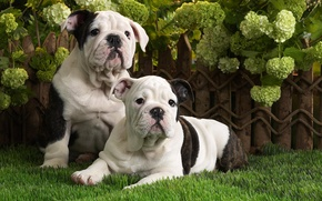 Picture dogs, grass, puppies, English bulldog