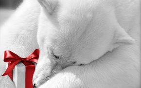 Picture animals, holiday, gift, polar bear, bow