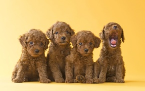 Picture dogs, yellow, background, puppies