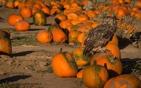 Picture owl, bird, pumpkin, Virgin Filin