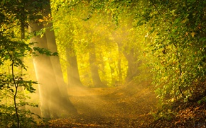 Picture forest, the sun, rays, trees, nature, bright light, foliage, morning, forest, nature, sunrise, crepuscular rays, …