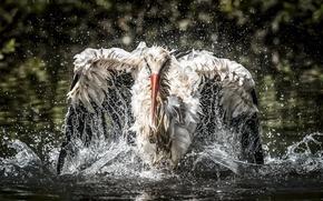 Picture water, bird, fishing, stork