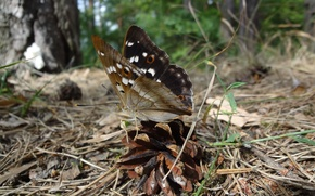 Picture forest, summer, insects, nature, butterfly, glade, insect, bump, Sunny day, coniferous forest, pine forest, pine ...