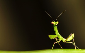 Picture surface, sheet, green, mantis, insect, antennae